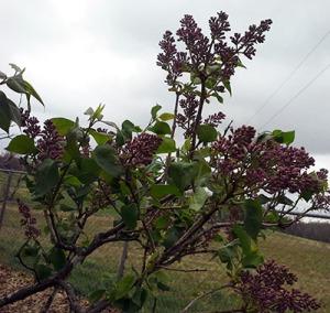 LilacbudsApril142014