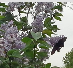 LilacButterflyApril26_2014